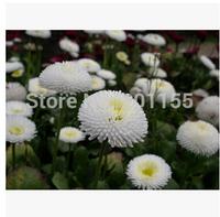 1 original pack 60pcs White daisy seeds potted chrysanthemum flower