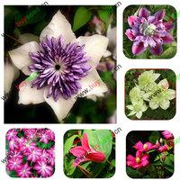 clematis plants flowers seeds, clematis hybridas rooted, 22 varieties can pick, 50 seeds/bag
