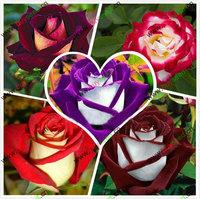 Chinese rose flower, chinese rose seeds, climbing roses seeds four seasons 50 seeds/bag