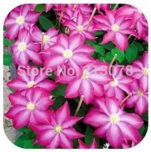 real rare clematis seeds,clematis plant seeds,clematis Bonsai clematis bulbs wire lotus plant seeds - 50pcs(China (Mainland))