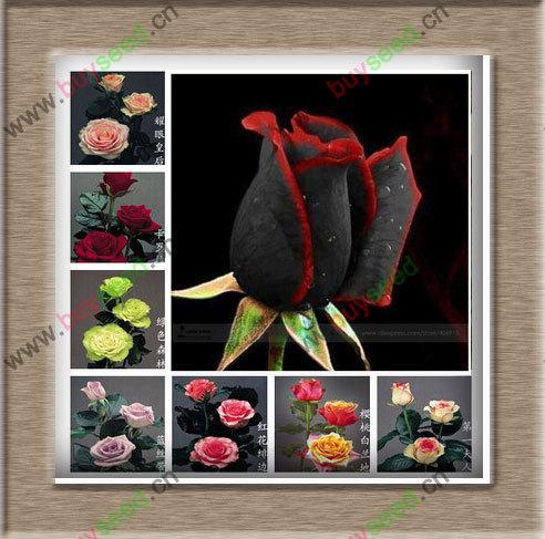 1 pacote profissional, aproximadamente 50 sementes / Pack, incrivelmente belo Black Rose flor rara com Red Edge Seedling semente