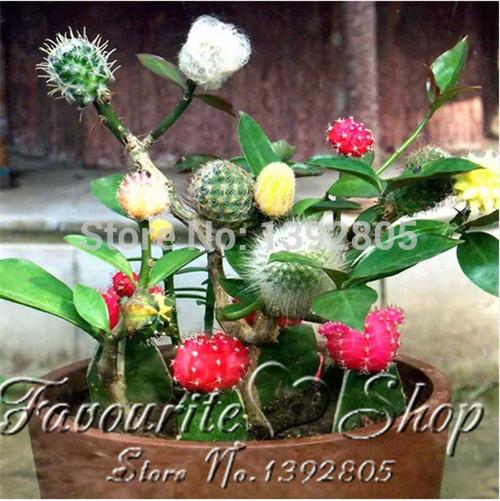 50pcs mixed cactus Echinopsis Tubiflora Ball Cactus Perennial Succulent Plants office mini plant succulent planting(China (Mainland))