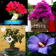 Bonsai Flower seeds 4packs Mixed Flowering Bonsai Bougainvillea Spectabilis/Hibiscus Syriacus DIY Home Garden,Free shipping(China (Mainland))