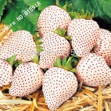 Fruit seeds 100 pcs White Snow Alpine Strawberry Fragaria Vesca Fruit Fresh Exotic Seeds(China (Mainland))