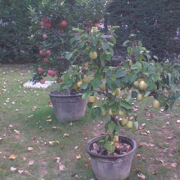 Big Dates Fruit Big Jujube Seed Ling Date