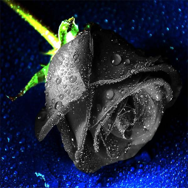 Карликовое дерево Brand New 50 Black Rose Seed карликовое дерево flower seed 100 crape myrtle seed