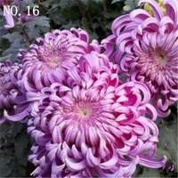 2015 New Rare  Chrysanthemum seed countryard balcony decoration 50 seeds NO.16