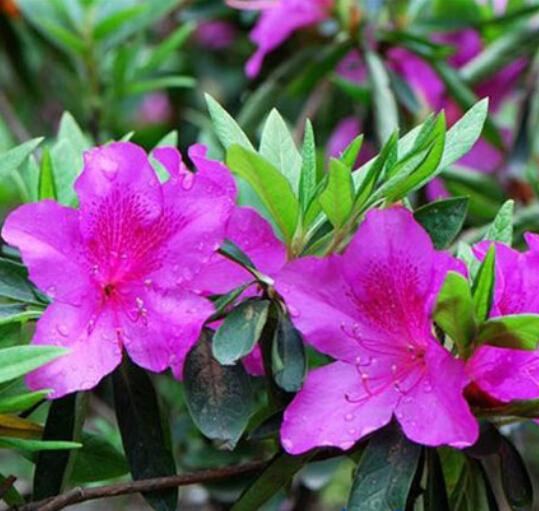 Plants, Seeds & Bulbs 100PCS MIXED SCHIZANTHUS PINNATUS FLOWER SEEDS BUTTERFLY ORCHID FLOWER SUPREME
