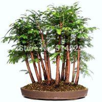 100 Pcs Dawn Redwood Forest Bonsai Seeds - Bonsai Tree - Metasequoia glyptostroboides - Grow Your Own Bonsai Tree