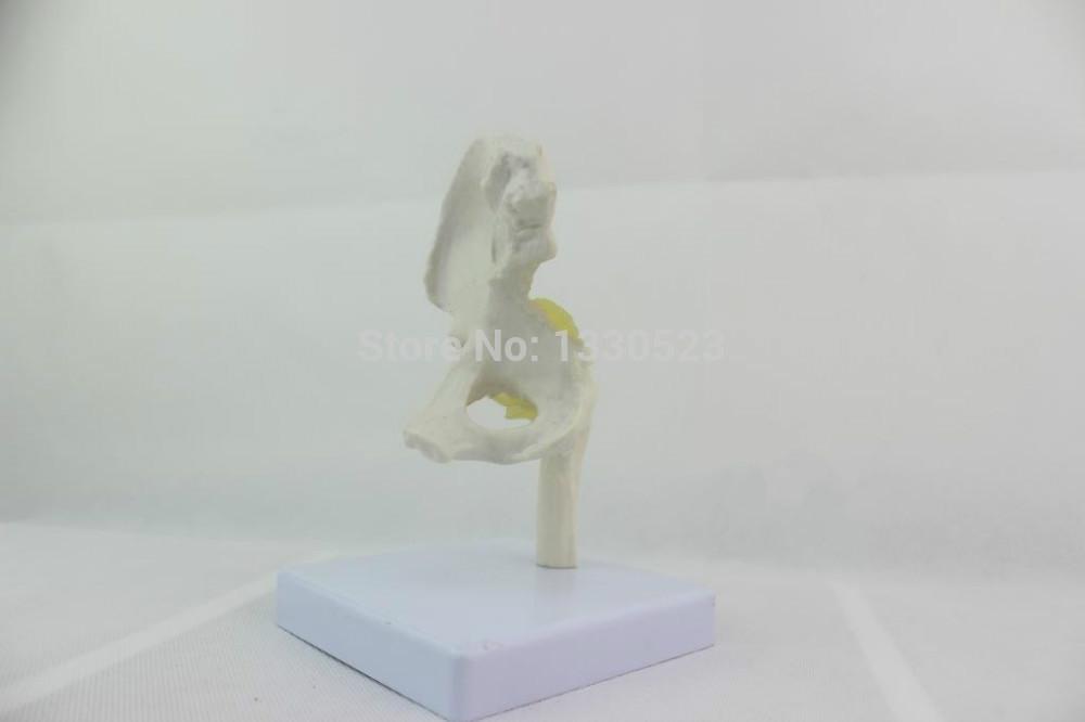 Ligament Model Hip Joint Ligament Model