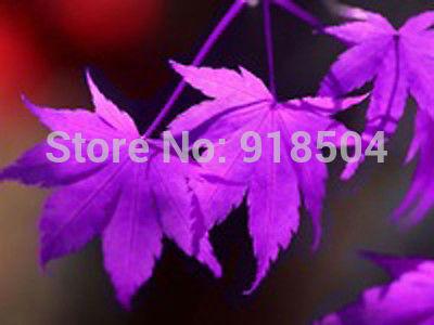 2015 30pcs /bag Purple American maple tree seeds big plants maple seeds Free Shipping(China (Mainland))