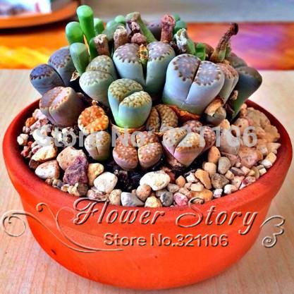 100 seeds Lithops Pseudotruncatella Living Stone Rare Succulent Seeds Home Garden Plant seeds(China (Mainland))
