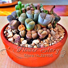 100 seeds Lithops Pseudotruncatella Living Stone   Rare Succulent Seeds  Home Garden Plant  seeds(China (Mainland))