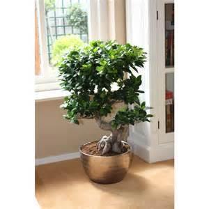 Chinese Rare Ficus Microcarpa Tree Seeds 100pcs China Roots Sementes Bonsai Ginseng Banyan Garden Tree Outdoor Planters(China (Mainland))