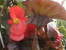 Flores bonsai sementes RED BEGONIA flor sementes MIX NON-PELLETED semillas de frutas orquídea preço(China (Mainland))