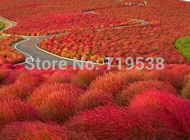 Карликовое дерево Yeya 100 Kochia 008 карликовое дерево 100