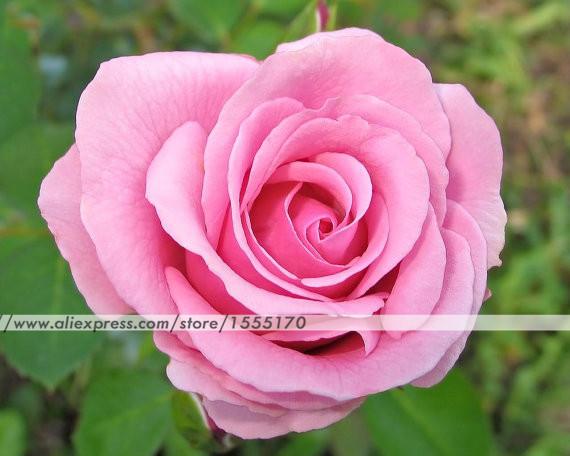 Роза из альбомного листа