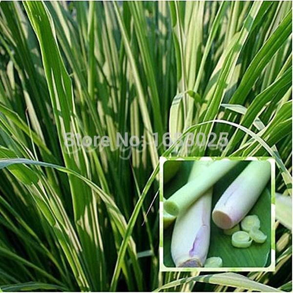 100Pcs/Bag EAST INDIA C. Flexuosus Lemon Grass Seeds Herb Lemongrass Seeds Flower Seeds Used fresh or dried(China (Mainland))