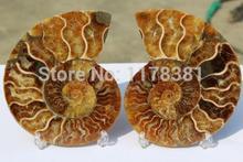 Ископаемый улитка аммонита минеральные из марокко ~ MULTI-COLOR пожара