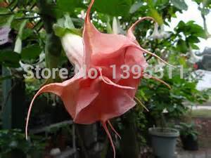 Bonsai Tree seeds 100pcs DWARF Brugmansia suaveolens Flamenco angel s Trumpets bonsai datura seeds for home