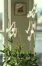 Sinningia Tubiflora suculentas raros exotic caudex africano violeta semente 50 sementes haworthia attenuata(China (Mainland))