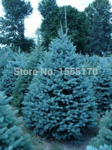 Garden Plant 50 pcs Colorado sky Blue Spruce Picea Pungens Glauca Tree Seeds sementes perennial seeds(China (Mainland))