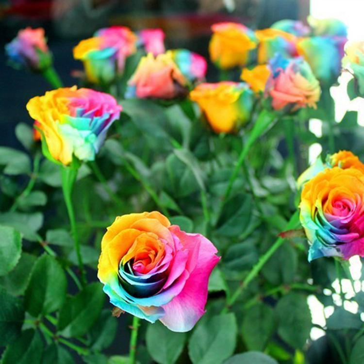 online kaufen gro handel regenbogen rosen zum verkauf aus. Black Bedroom Furniture Sets. Home Design Ideas