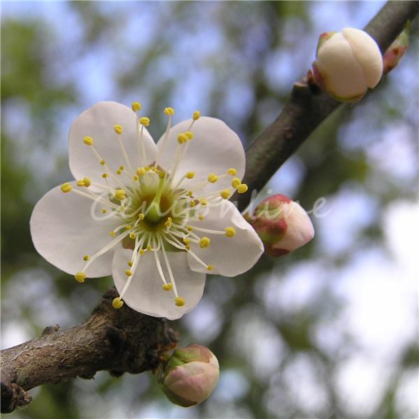 20pcs Mock ORANGE Seeds Sweet English Dogwood Philadelphus Coronarius Shrub Flower Wintersweet Wholesale 2015 New Arrival(China (Mainland))
