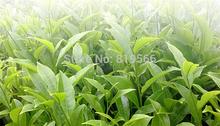 New 2015 Spring Phoenix Dancong 100g Chazhou Oolong Organic Fenghuang Dan Cong Tea