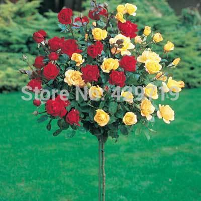 100pcs rare flower Rose tree Seeds, DIY Home Garden Potted ,Balcony & Yard Flower Plant(China (Mainland))