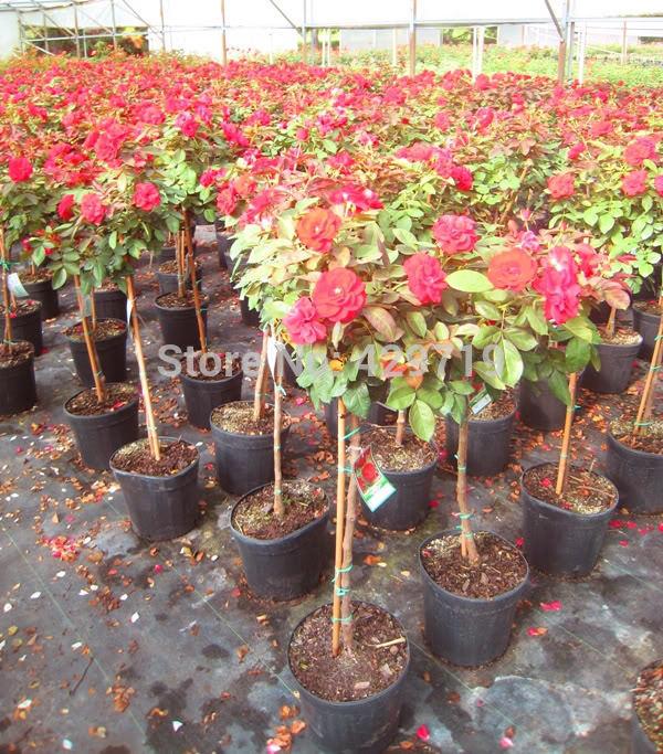 100pcs rare flower Rose tree Seeds DIY Home Garden Potted Balcony Yard Flower Plant