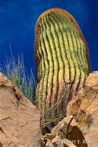 1000pcs/bag gaint cactus seeds, decration garden flower seeds free shipping(China (Mainland))
