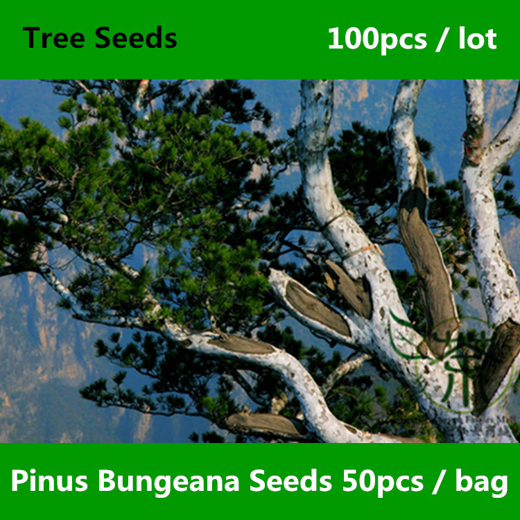 Evergreen Tree Pinus Bungeana Seeds 100pcs, Ornamental Bai Pi Song Lacebark Pine Seeds, Family Pinaceae White-barked Pine Seeds(China (Mainland))