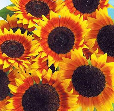 2015 New Trendy Stylish Rare Flower Seeds Japan Sunflower Helianthus Annuus Flower Seed Low Price 1 Pack 20 Seeds(China (Mainland))