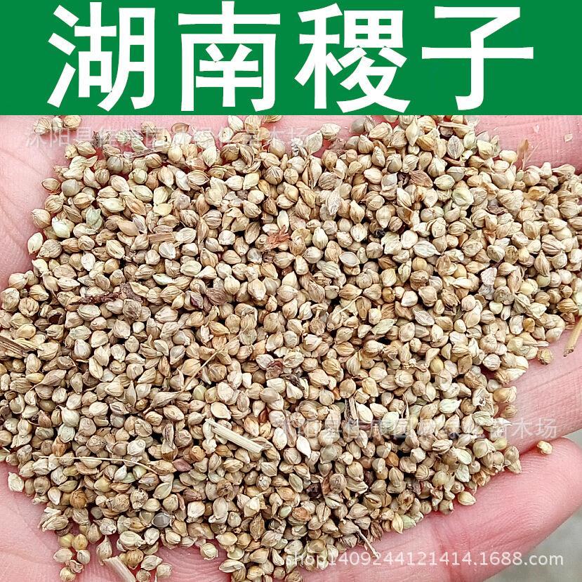 High quality grass seed crop seed yield frumentacea Hunan barnyard barnyard grass seed house plants 200g / Pack(China (Mainland))