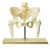 Pelvis model,pelvis with 2pcs lumbar and femur model