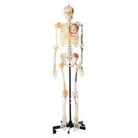 human skeleton with one side painted muscules