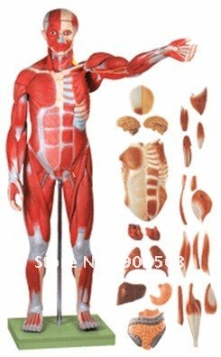 Anatomical model,Human limbs model, Human muscle ,muscles of male with internal organs,Free Shipping(China (Mainland))