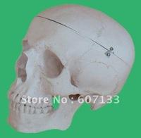 Advanced Skull Model-A (anatomical model,educational model)