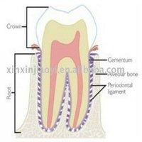 dental tooth slides|tooth prepared slit|microscopes tooth slides|prepared tooth slides