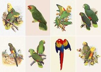 Postcard LAMINATED High Quality, Animal Color Parrot 8P3 15*10.5 cm, Wholesale & Retail