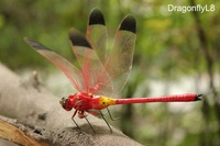 Handicrafted ECO Clay Insect Craft Dragonfly Refrigerator Magnet Sticker Red 14x9cm Home Decor 120pcs Mixed Lot Free Shipping