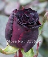 Free shipping 100 seeds per pack black rose seeds