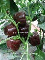 5pcs/bag brown Sweet pepper vegetable Seeds DIY Home Garden
