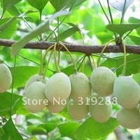 5pcs/bag Ginkgo tree Seeds DIY Home Garden