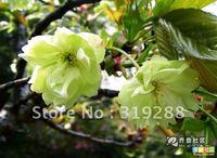 5pcs/bag green cherry blossoms tree Seeds DIY Home Garden