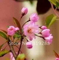 5pcs/bag pink chinese Malus halliana tree Seeds DIY Home Garden