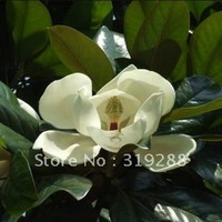 5pcs/bag white Magnolia tree Seeds DIY Home Garden