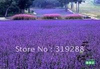 10pcs/bag Lavender Lady Seeds DIY Home Garden