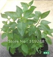 10pcs/bag Peppermint Seeds DIY Home Garden